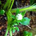 2013-0131-在家DIY種草莓 (2)