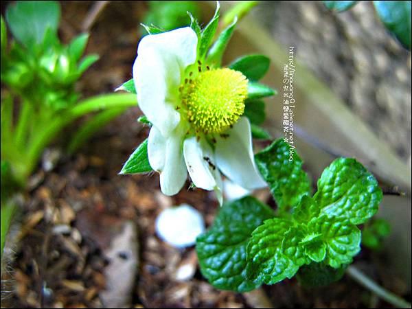 2013-0131-在家DIY種草莓 (3)