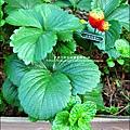 2013-0131-在家DIY種草莓 (4)