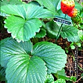 2013-0131-在家DIY種草莓