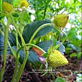 2013-0218-在家DIY種草莓 (1)