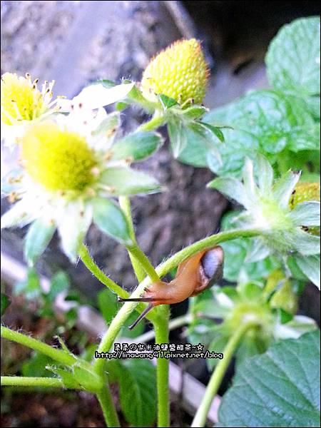 2013-0218-在家DIY種草莓 (3)