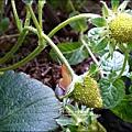 2013-0218-在家DIY種草莓 (4)