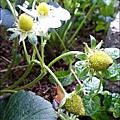 2013-0218-在家DIY種草莓 (5)
