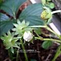 2013-0224-在家DIY種草莓 (1)