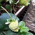 2013-0224-在家DIY種草莓