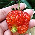 2013-0309-在家DIY種草莓 (3)