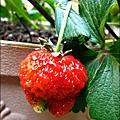 2013-0309-在家DIY種草莓 (4)