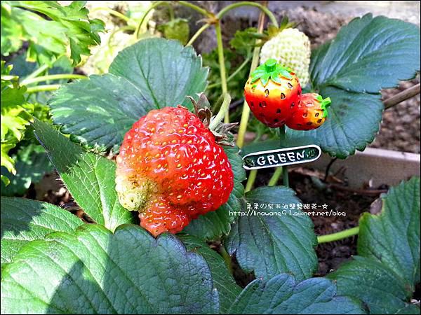 2013-0308-在家DIY種草莓 (1)