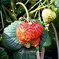 2013-0308-在家DIY種草莓