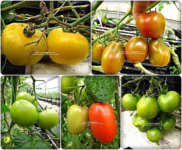 2012-0329-新竹關西-金勇DIY蕃茄農場 (1)