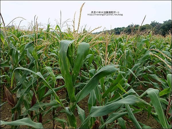 2014-1228-嘉義-義竹-玉米迷宮 (5).jpg