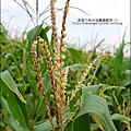 2014-1228-嘉義-義竹-玉米迷宮 (12).jpg