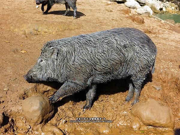 2016-1218-曾文水庫餵山豬 (15)P14.jpg