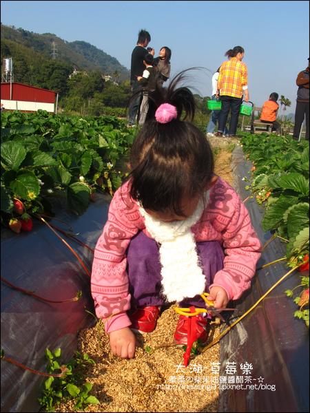 2011-0102-大湖採草莓 (23).jpg