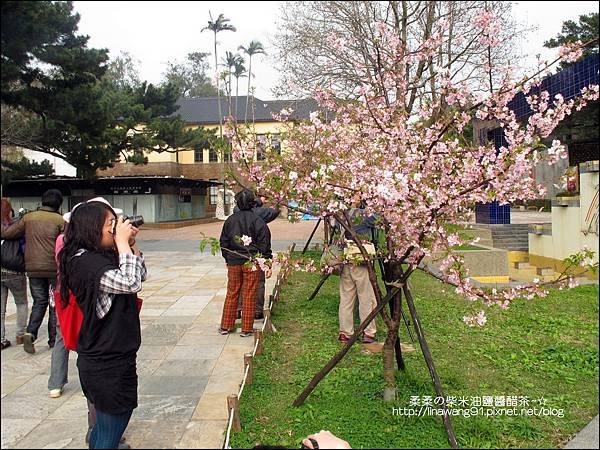 2011-0223-新竹公園-賞櫻花 (8).jpg