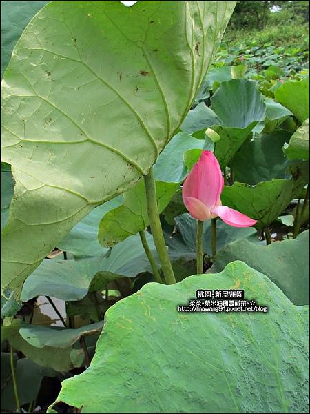 2010-0620-新屋蓮園 (19).jpg