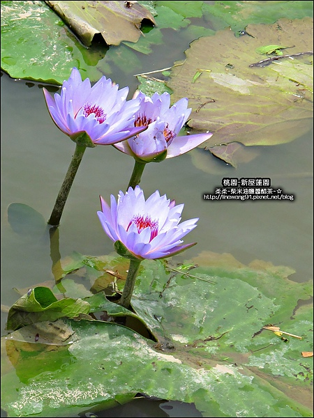 2010-0620-新屋蓮園 (23).jpg