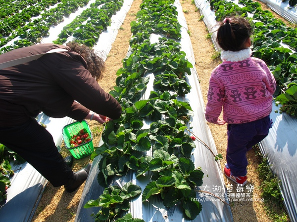2011-0102-大湖採草莓 (4).jpg