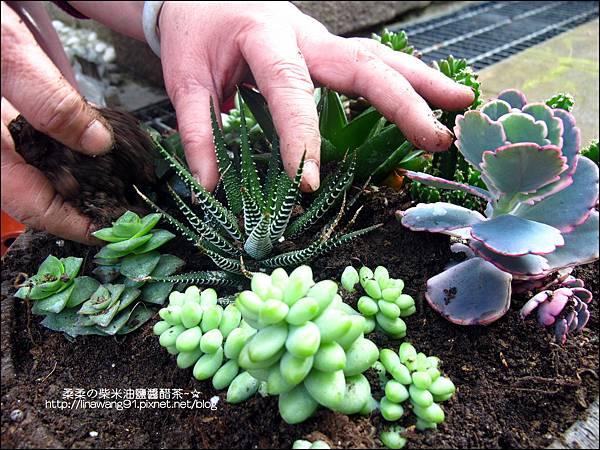 2011-0314-仙人掌組合盆栽 (3).jpg