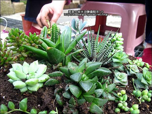 2011-0314-仙人掌組合盆栽 (6).jpg