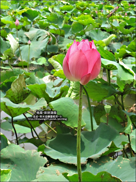 2010-0620-新屋蓮園 (17).jpg
