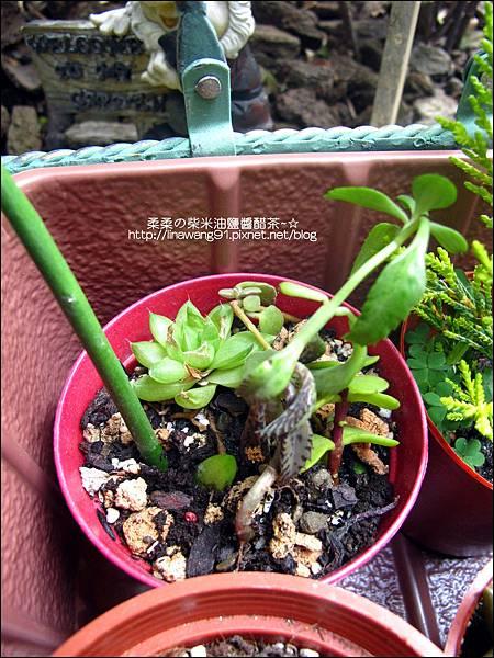 2011-0314-仙人掌組合盆栽 (8).jpg