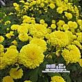 2010-1114-2010-銅鑼-杭菊芋頭節 (24).jpg