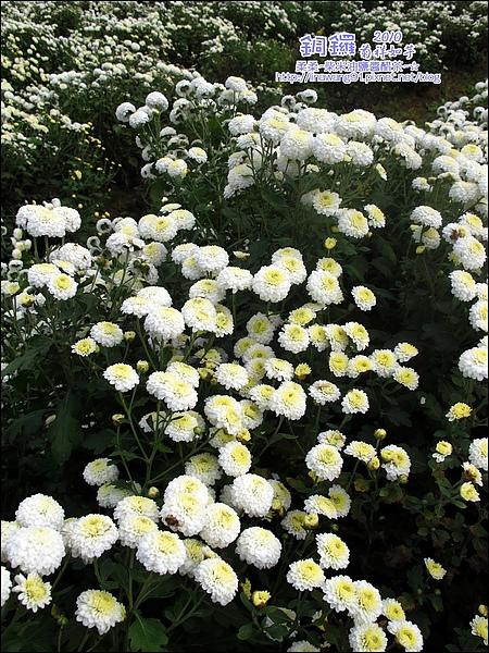 2010-1114-2010-銅鑼-杭菊芋頭節 (29).jpg