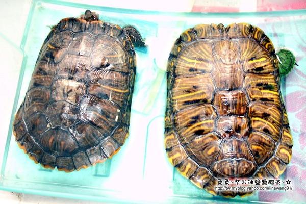 大陸-青島-四叔養的烏龜.jpg