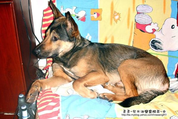大陸-青島-四哥家狼犬的專屬座位.jpg