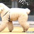 大陸-青島-貴賓狗.jpg