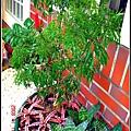 請人整修花園-老媽最愛的富貴樹.jpg