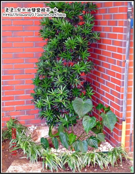 請人整修花園-原來的羅漢松還留著.jpg