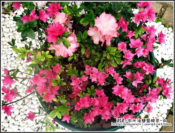 3月花園裡的杜鵑花.jpg