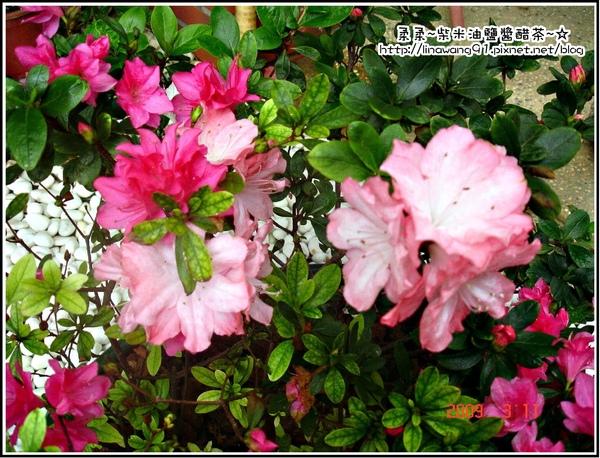 3月花園裡的粉色杜鵑花.jpg