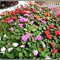 3月花園裡的鳳仙花.jpg
