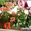 花園裡的長壽花.jpg