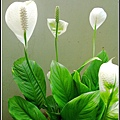 白火鶴看起來好像假花.jpg