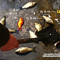 大陸-青島-可憐的魚.jpg