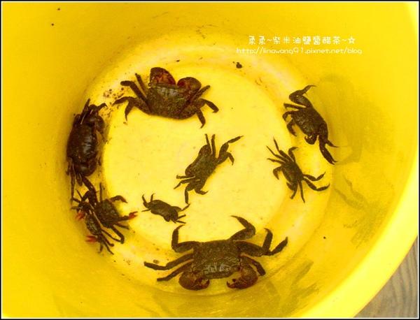 2009-0803新豐紅毛港紅樹林遊憩區-釣到好多螃蟹.jpg