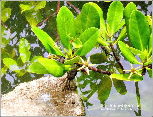 2009-0823-新豐紅毛港紅樹林遊憩區-螃蟹卡住了.jpg