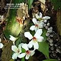 2010-0421-紙糊古道-油桐花之旅 (27).jpg