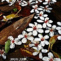 2010-0421-紙糊古道-油桐花之旅 (36).jpg