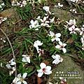 2010-0421-苗栗縣獅潭鄉-相遇桐花林 (11).jpg