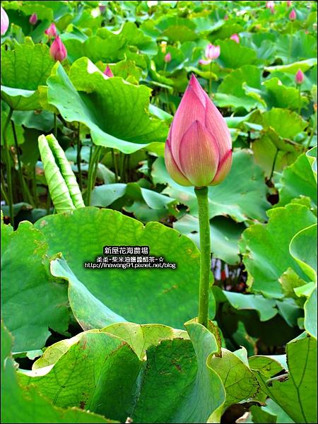 2010-0620-新屋花海農場 (5).jpg