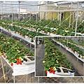 2011-0226-灣潭玫瑰草莓園 (64).jpg