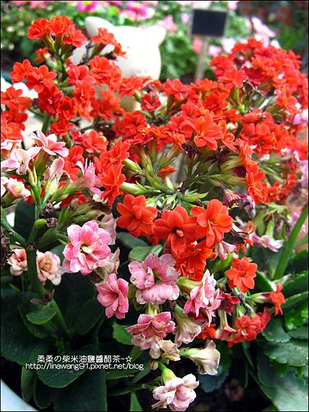 2011-0314-仙人掌組合盆栽 (13).jpg