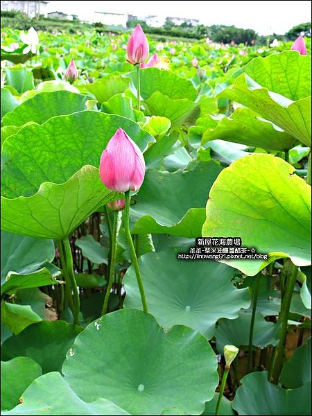 2010-0620-新屋花海農場 (2).jpg