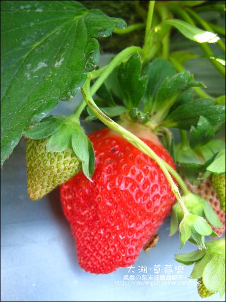 2011-0102-大湖採草莓 (14).jpg